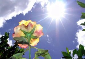 yellow and pink rose with sun