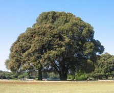 mustard tree