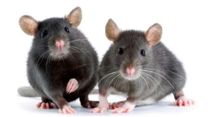 mice-in-shed
