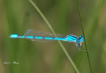 blue tailed dragonfly
