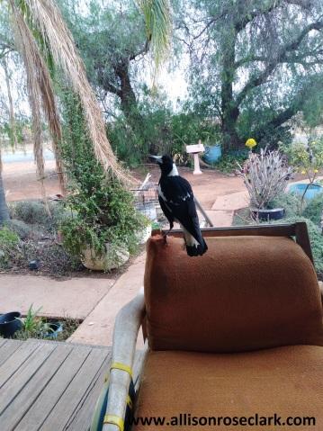Jacko the Magpie