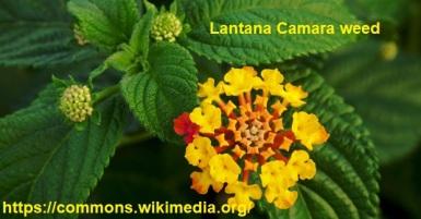 Lantana-camara-weed
