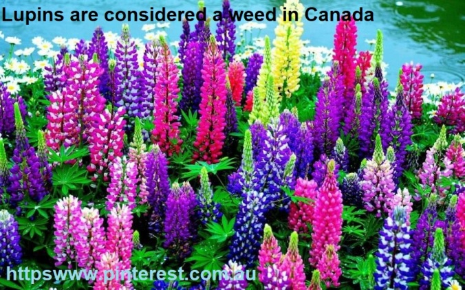 Lupins considered weed in Canada - httpswww.pinterest.com.au